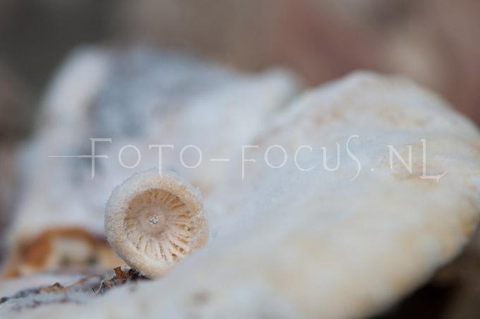 Asterophora parasitica Singer - Plaatjeszwamgast1