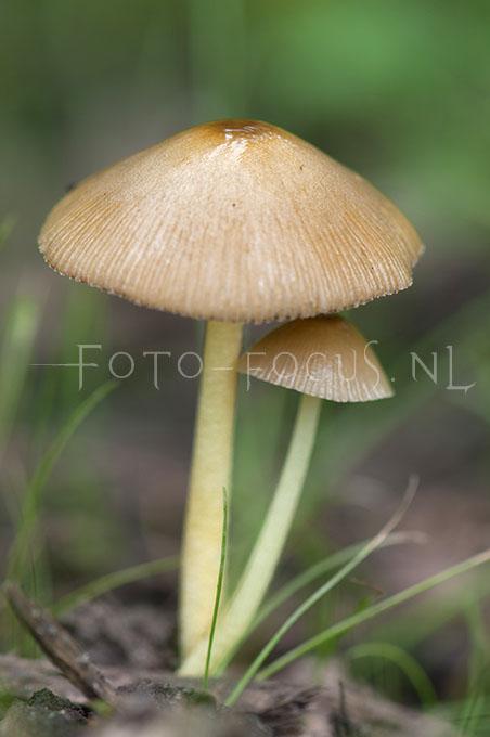 Pluteus romellii - Geelsteelhertenzw