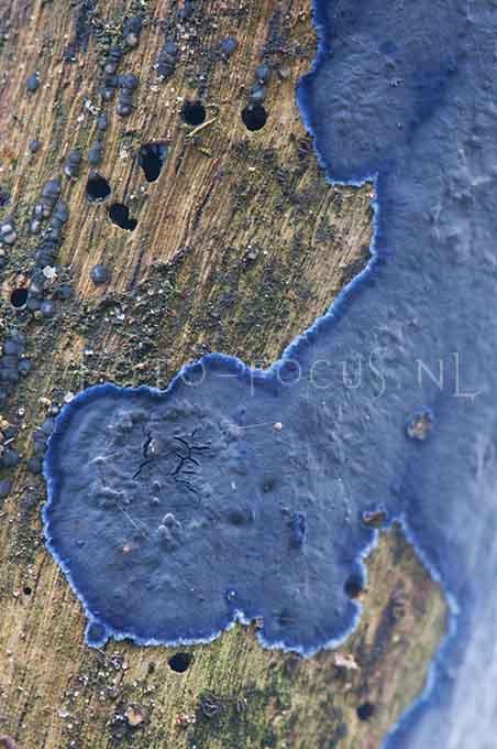 Terana caerulea - Blauwekorstzw1