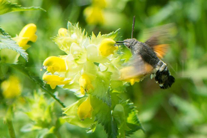 Macroglossum stellatarum - Kolibrievlind