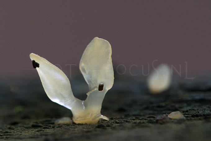 Calocera pallidospathulata - Spatelhoorntje3
