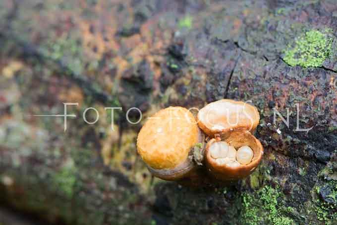 Crucibulum crucibuliforme - Geel nestzw