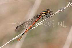 Pyrrhosoma nymphula - Vuurjuff.1-female