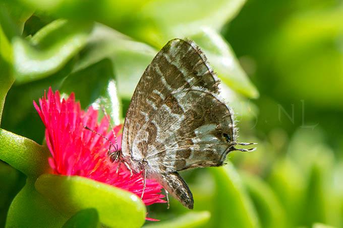 Cacyreus marshalli - Geraniumblauwtje