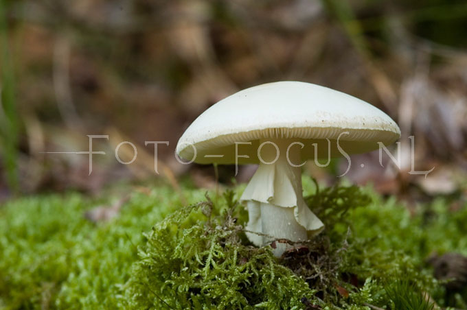Agaricus silvicola - Slanke anijschampignon