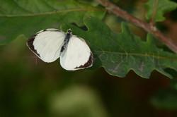 Pieris brassicae - Gr. koolwitje1 -male.