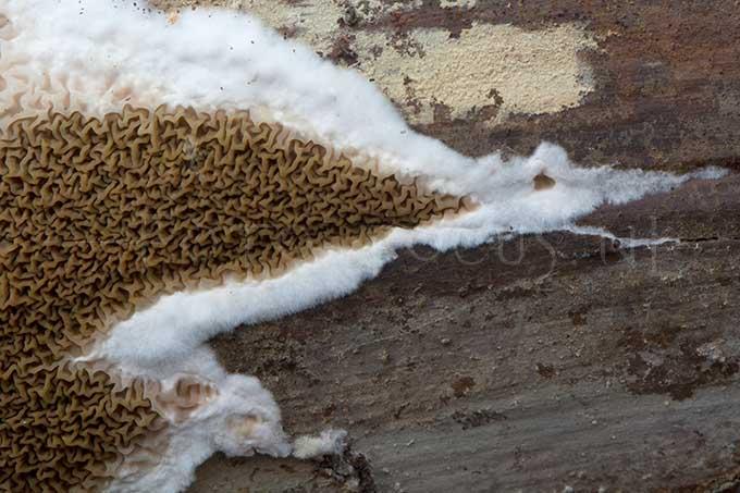 Serpula himantioides - Dakloze huiszw.1