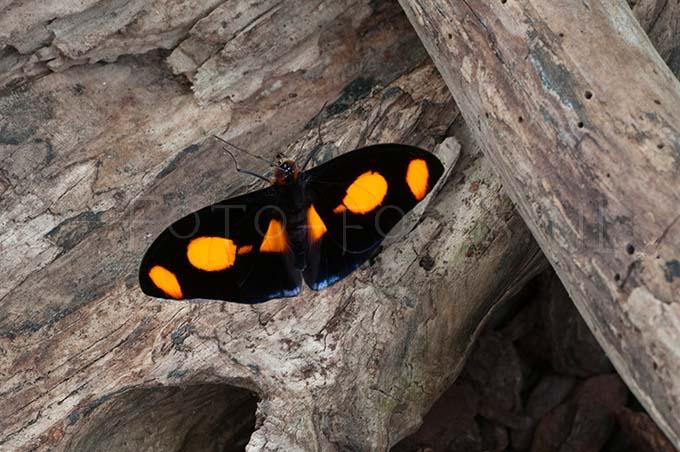 Catonephele numilia - male