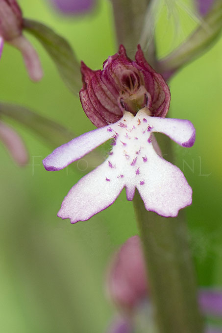Orchis purpurea x Orchis militaris - hybride Purperorchis x Soldaatje3