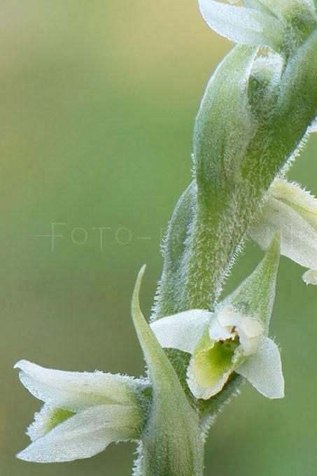 Spiranthes spiralis - Herfstschroeforchis2