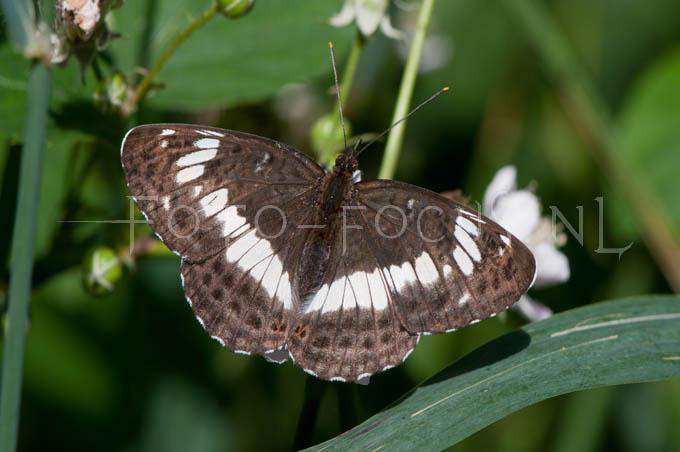 Limenitis camilla - Kl. IJsvogelvlinder