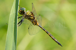 Somatochlora flavomaculata - Gevlekte gl