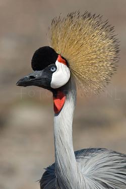 Balearica regulorum - Grijze kroonkraanvogel1