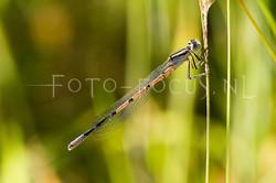 Enallagma cyathigerum - Watersnuffel3 -young male