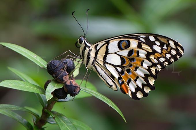 Papilio demoleus malayanus - limoenvlinder