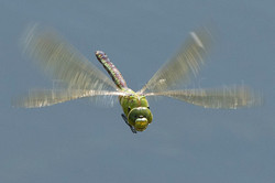 Anax imperator - Grote keizerlibel2 - female