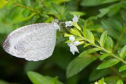 Leptosia nina malayana