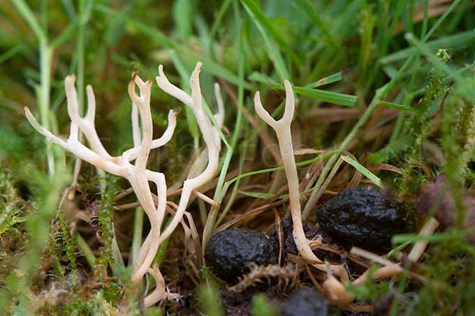 Ramariopsis tenuiramosa - Bezemkoraaltje