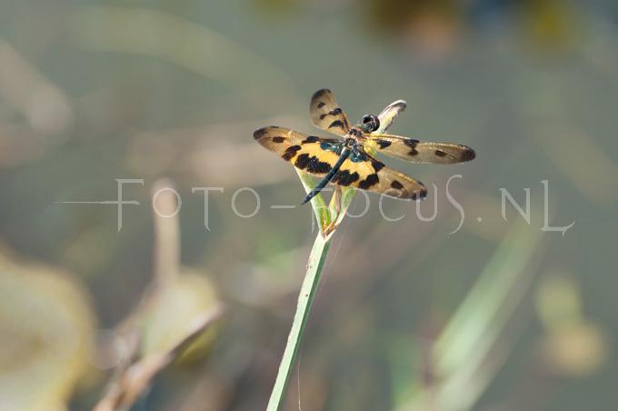 Rhyothemis variegata - Korenbout