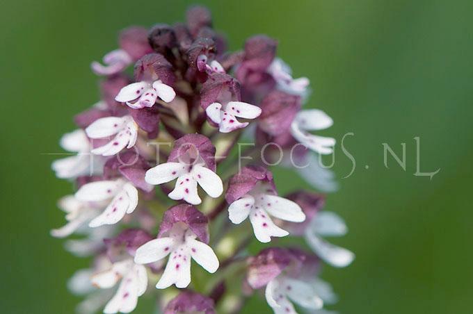 Neotinea ustulata  - Aangebrande orchis2
