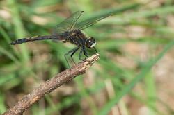 Leucorrhinia dubia - Venwitsnuitlibel -male