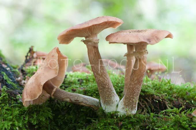 Armillaria mellea - Echte honingzw1