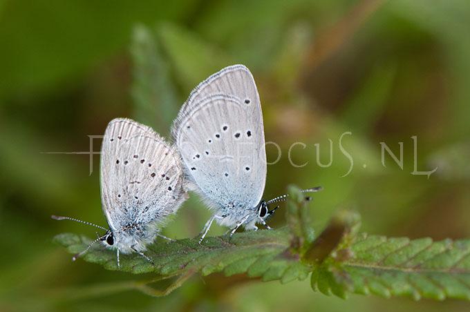 Cupido minimus - Dwergblauwtje3 - copula