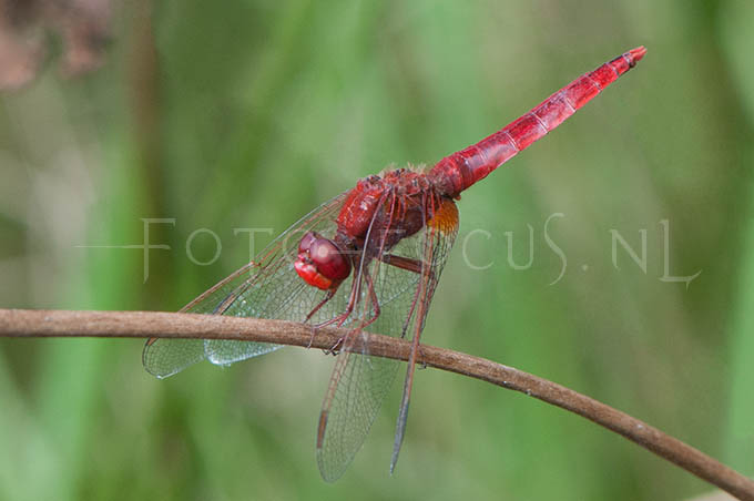 Crocothemis erythraea - Vuurlibel2- male