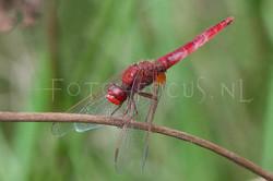Crocothemis erythraea - Vuurlibel2- male
