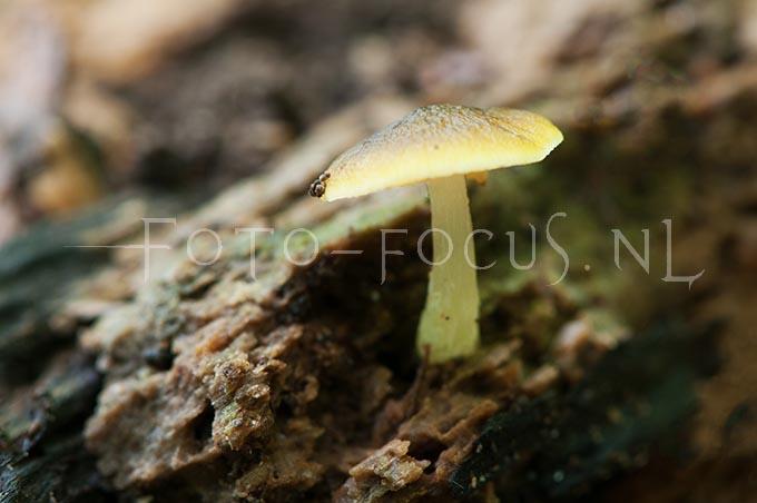 Pluteus leoninus - Goudgele hertenzw