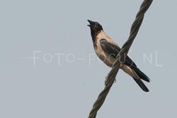 Corvus cornix - Bonte Kraai1