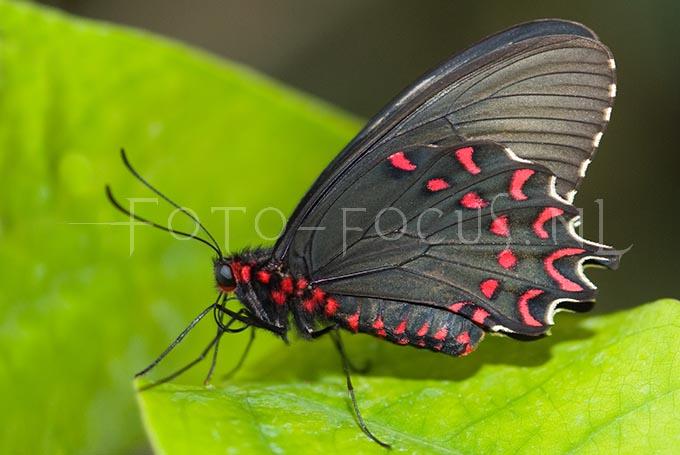Mormon papilus pollytes2
