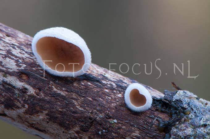 Auriculariopsis ampla - Vals judasoor3