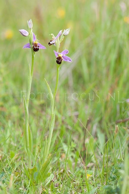 Ophrys apifera - Bijenorchis1