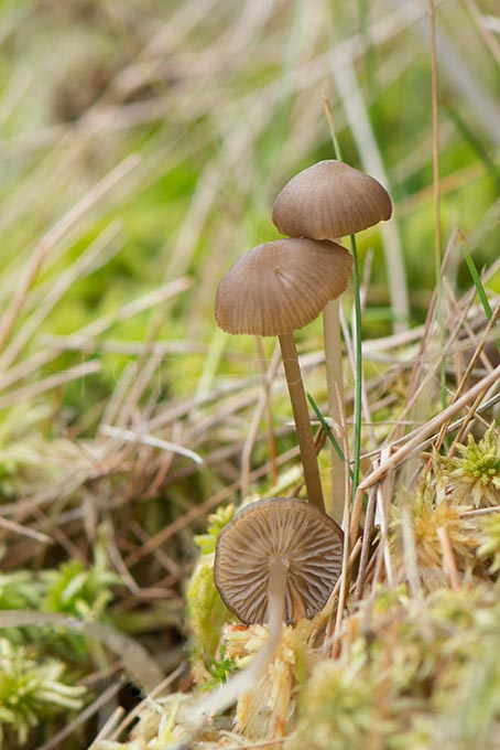 Lyophyllum palustre - Veenmosgrauwkop