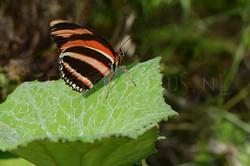 Dryadula phaetusa1