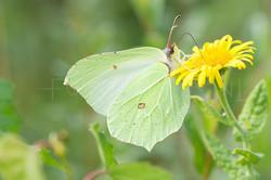 Gonepteryx rhamni - Citroenvlinder -fema