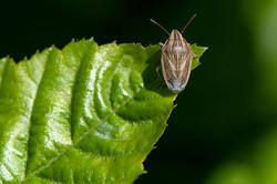 Aelia acuminata - Mijterschildwants