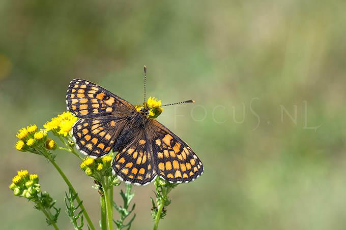 Melitaea athalia - Bosparelmoervlinder1 -female