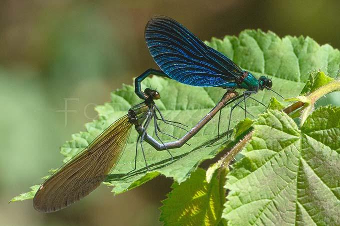 Calopteryx virgo - Bosbeekjuff.3 -copula