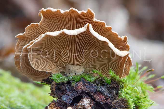 Panellus stipticus - Scherpe schelpzw