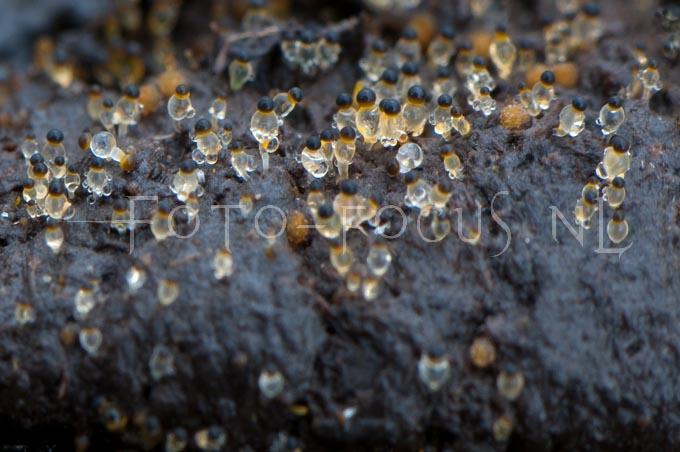 Pilobolus crystallinus - Kogelschieter1
