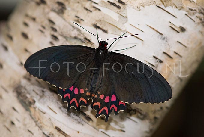 Mormon papilus pollytes1
