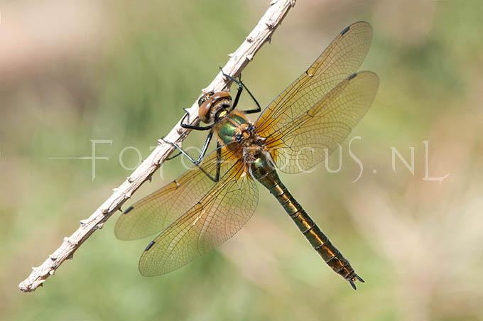 Cordulia aenea - Smaragdlibel - female