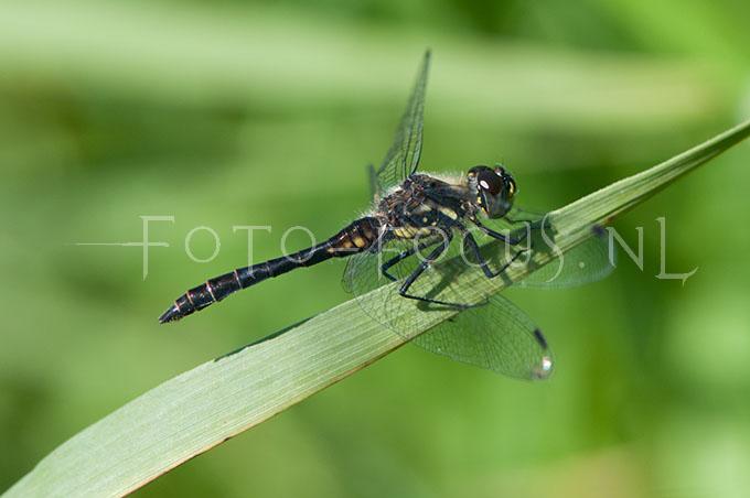 Sympetrum danae - Zwarte heidelibel2- male