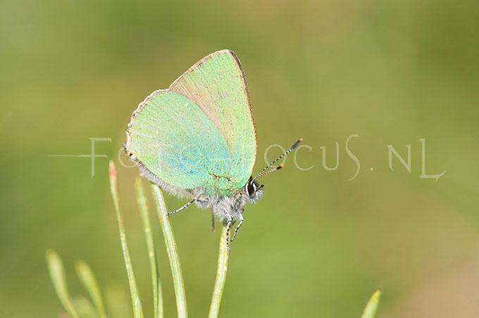 Callophrys rubi - Groentje2