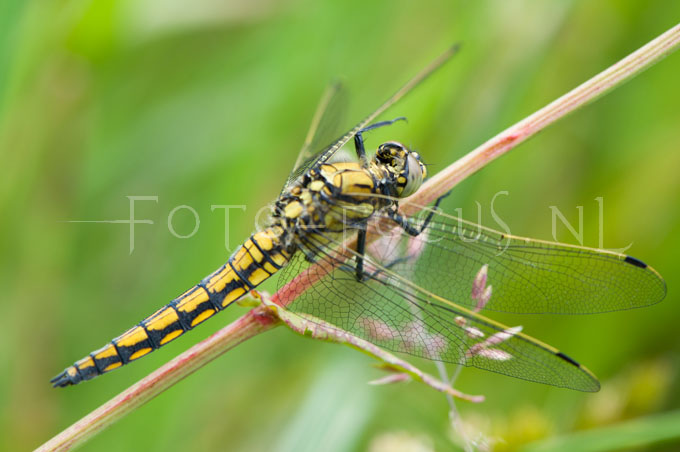 Orthetrum cancellatum - Gew. Oeverlibel1- female