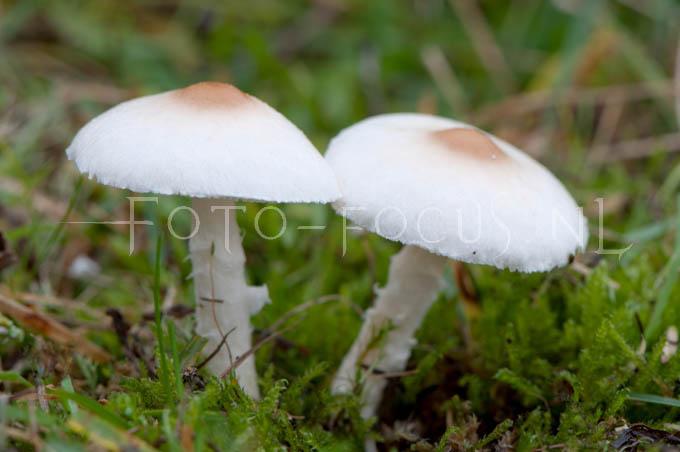 Lepiota alba - Duinparasolzw