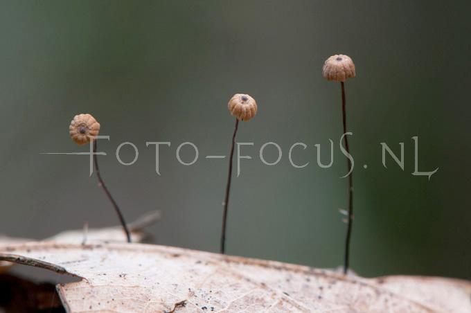 Marasmius bulliardii - Dwergwieltje2