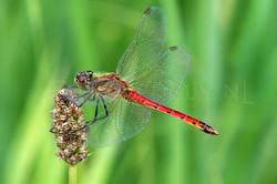 Sympetrum depressiusculum - Kempense heidelibel3 -male
